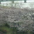 19 桜桜