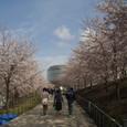 25 白山公園の桜1
