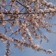 26 白山公園の桜2