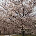 27 白山公園の桜3