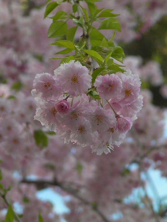 Sakura01